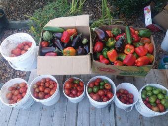 Buckets of gleaned vegetables